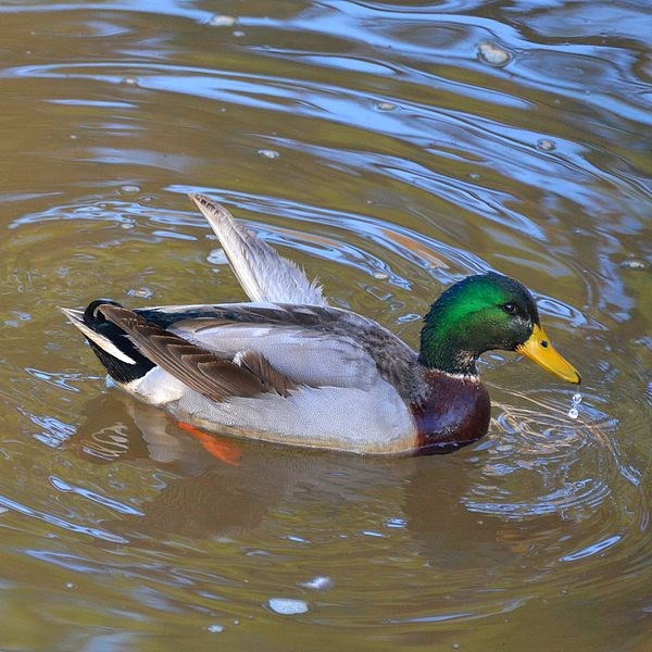 A duck with angel wing By Tony Alter from Newport News, USA (I Like This Duck  Uploaded by theveravee) [CC BY 2.0 (http://creativecommons.org/licenses/by/2.0)], via Wikimedia Commons